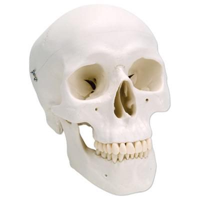 A20 - Classic Human Skull Model, 3 part