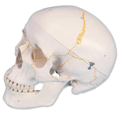 A21 - Numbered Human Classic Skull Model, 3 part