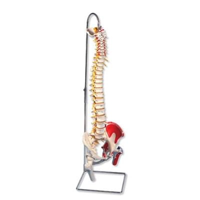 A58/7 - Deluxe Flexible Spine Model with Femur Heads and Painted Muscles