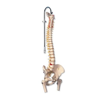 A59/2 - Highly Flexible Spine Model with Femur Heads
