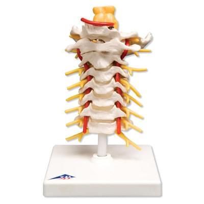 A72 - Cervical Spinal Column