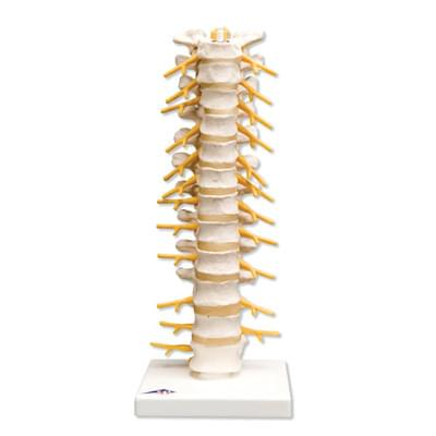 A73 - Thoracic Spinal Column