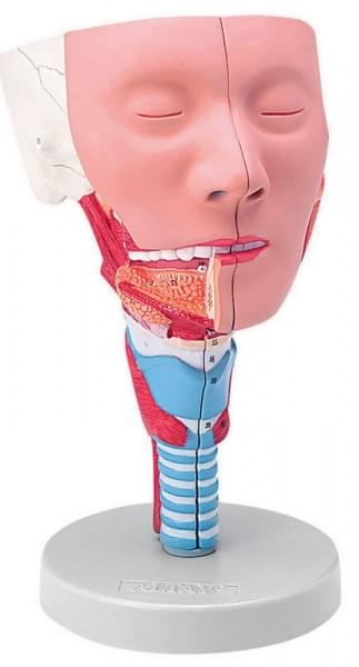 6030.11 - Hlava s hltanovými svaly