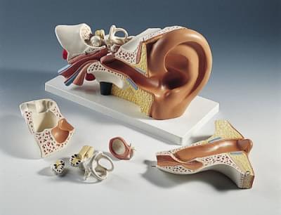 E11 - Ear model