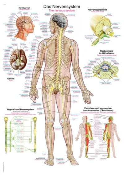 AL105 - Chart The nervous system