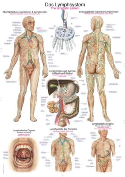 AL109 - Chart The lymphatic system