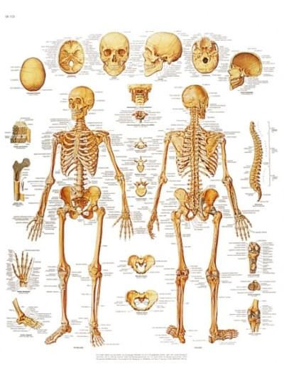 VR1113UU - The human skeleton