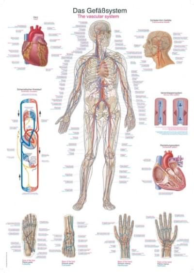 AL106 - Chart The vascular system