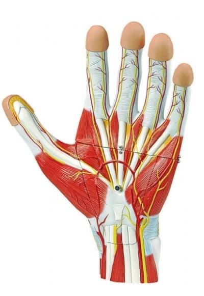 6000.37 - Anatomy of the Hand