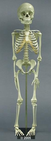 SC-183-A - Child Skeleton, 5 year old