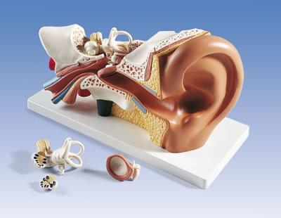 E10 - Ear model