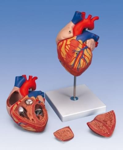 G12 - Model srdce