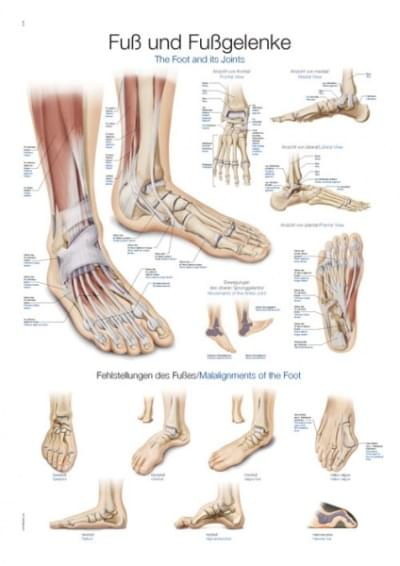 AL155 - Chart The foot and its joints