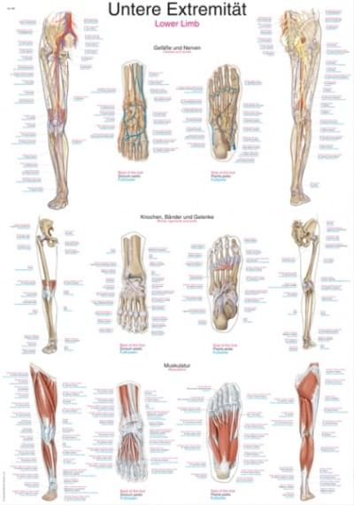 AL108 - Chart Lower Limb