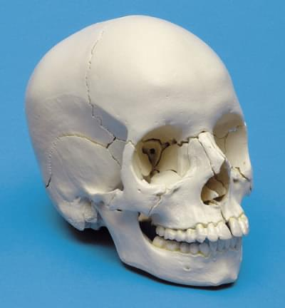 A290 - Beauchene Adult Human Skull Model - Bone Colored Version, 22 part