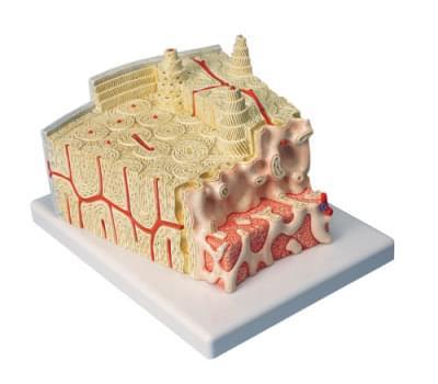 A79 - Bone structure
