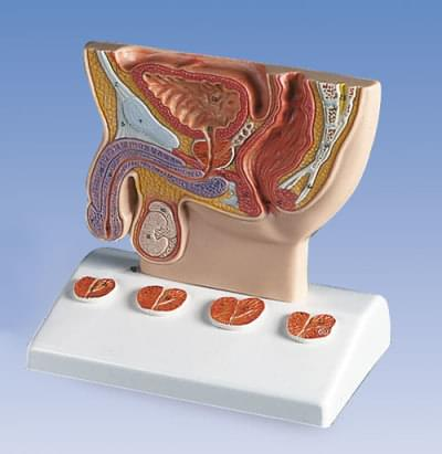 K41 - Prostate Model,  1/2  natural size