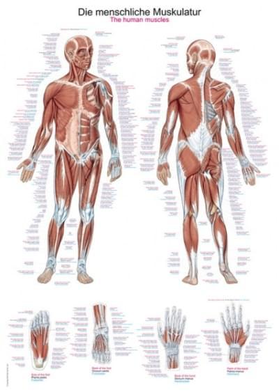 AL100 - Chart The human musculature