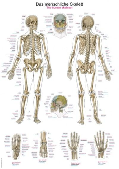 AL102 - Chart The human skeleton