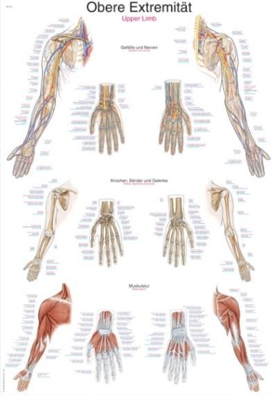 AL113 - Chart Upper Limb