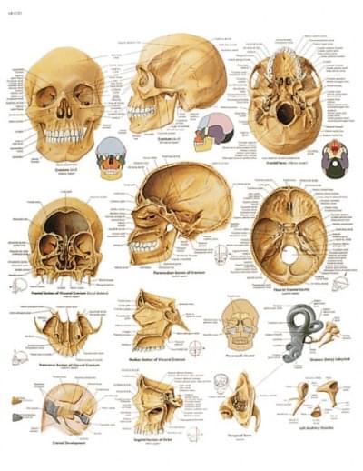 VR1131UU - The human skull