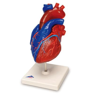 G01/1 - Magnetic Heart model, life-size, 5 parts
