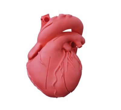 G500 - Heart model, flexible, didactical version