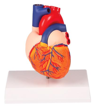 G310 - Heart model, 2 parts, life size