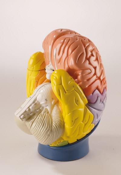 R10122 - Regional Brain