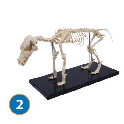 Small dog skeleton