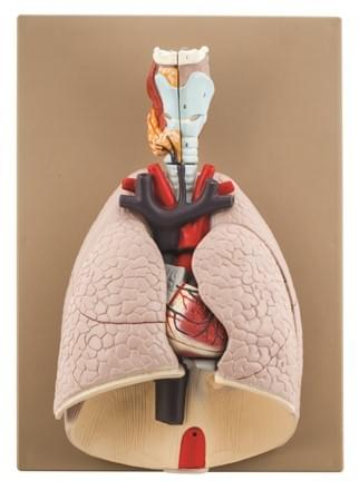Advanced Heart and Lung Model, 7 Parts